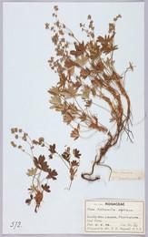 1913B8.1747 Bagnall herbarium specimen - Alchemilla alpina